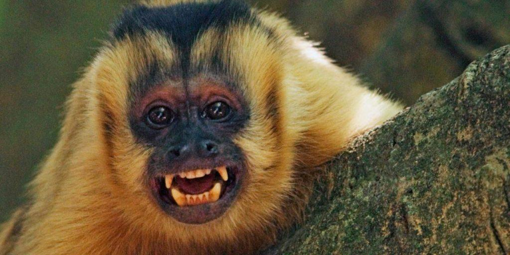 Anche le scimmie hanno 'tradizioni '